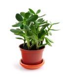 белизна houseplant предпосылки Стоковое Фото