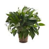 белизна houseplant предпосылки Стоковая Фотография RF