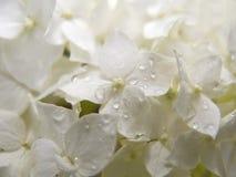 белизна hydrangea Стоковые Фото