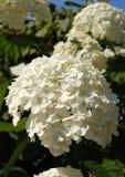 белизна hydrangea Стоковая Фотография
