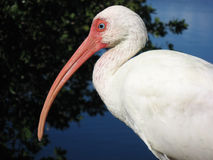 белизна ibis сидя Стоковое Фото