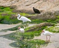 белизна ibis цапель стоковое изображение rf