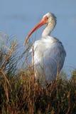 белизна ibis eudocimus albus Стоковое Изображение RF