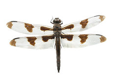 белизна isolted dragonfly стоковое фото rf