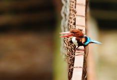 белизна kingfisher throated Стоковые Изображения
