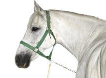 белизна lipizzaner лошади стоковое изображение rf