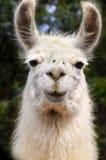 белизна llama Стоковые Изображения