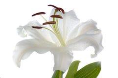 белизна madonna лилии Стоковые Фото