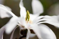 белизна magnolia Стоковое Изображение RF