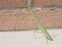 белизна mantis предпосылки моля Стоковое фото RF