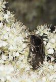 белизна marmorata liocola цветка сидя Стоковые Фото