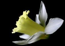 белизна narcissus стоковая фотография rf