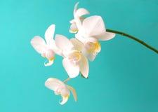 белизна orchidcomposition Стоковое Изображение