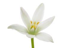 белизна ornithogalum лилии травы цветка Стоковые Изображения RF