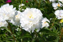 белизна peony цветка предпосылки Стоковое Изображение RF