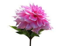 белизна peony цветка предпосылки Стоковое Изображение