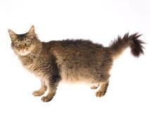 белизна perm la кота предпосылки стоковые фотографии rf