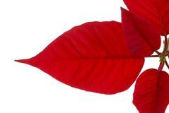 белизна poinsettia листьев Стоковое Изображение