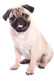 белизна pug предпосылки счастливая изолированная Стоковые Изображения RF