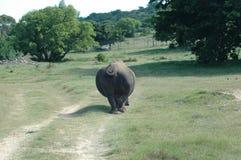 белизна rhinoceros Стоковые Изображения RF