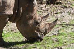 белизна rhinoceros Стоковые Фото