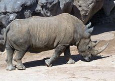 белизна rhinoceros Стоковое Изображение