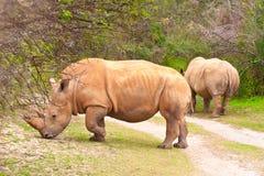 белизна rhinoceros Стоковые Фотографии RF
