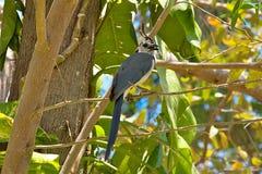белизна rica magpie jay Косты throated Стоковая Фотография