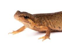 белизна salamander newt предпосылки Стоковое Изображение RF