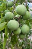 белизна sapote плодоовощ стоковая фотография