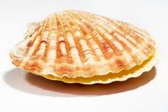 белизна seashell предпосылки красивейшая изолированная Стоковые Изображения