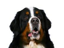 белизна sheepdog bern предпосылки стоковые фото