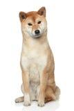 белизна shiba inu собаки предпосылки стоковые фото