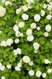 белизна shrub цветков зеленая стоковое изображение