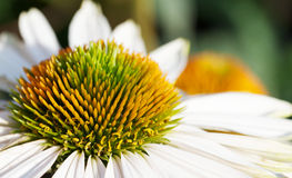 белизна stamen плоского зеленого макроса маргаритки померанцовая Стоковые Фото
