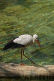 белизна storck ciconia стоковое фото