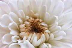 белизна strawflower выбора osteospermum ноготк gerber цветков цветка маргаритки георгина cornflower хризантемы предпосылки устано Стоковое фото RF