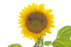 белизна sunnflower предпосылки Стоковая Фотография