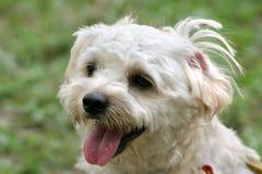 белизна terrier стоковое изображение