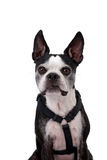 белизна terrier boston предпосылки Стоковые Фотографии RF