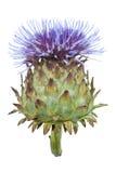 белизна thistle цветка цветеня Стоковые Изображения