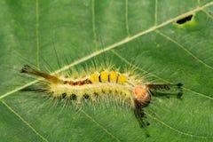 белизна tussock сумеречницы гусеницы маркированная Стоковое Изображение