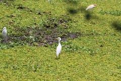 Белизна wading смотрящ что-то Стоковые Фото