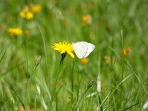Белизны бабочки Pieris или белизны сада Стоковое Изображение RF