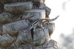 Белка взбираясь на дереве финиковой пальмы Стоковое Фото