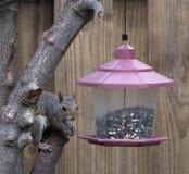 Белка восточного серого цвета на фидере птицы Стоковая Фотография