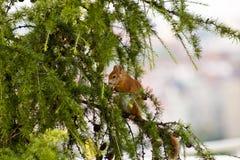 Белка в дереве жаворонка Стоковое Изображение