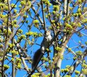 Белка в дереве стоковое изображение rf