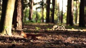 Белка в лесе сток-видео
