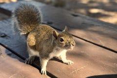 Белка в парке умоляя для арахиса стоковое фото rf